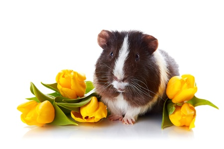 Guinea pig with tulips. Guinea pig and flowers. Small pet. Live gift. photo