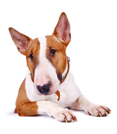 English bull terrier. Thoroughbred dog. Canine friend. Red dog. Portrait of a dog. Stock Photo