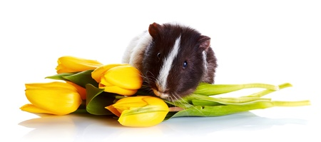 Guinea pig with tulips. Guinea pig and flowers. Small pet. Live gift. Stock Photo - 18518376