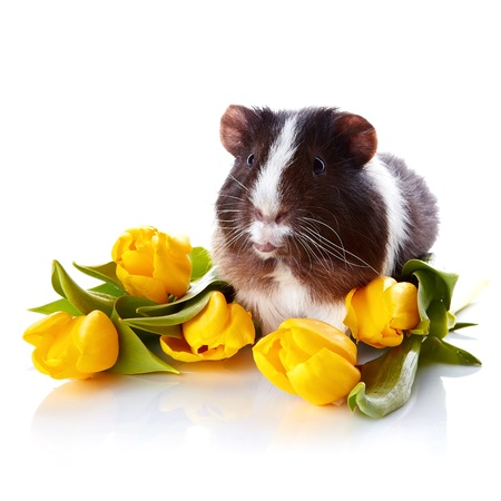 Guinea pig with tulips. Guinea pig and flowers. Small pet.\ Live gift.