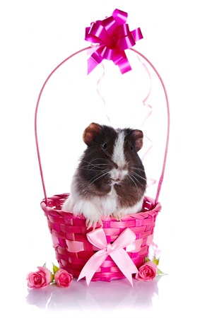 Guinea pig in a basket. Guinea pig and roses. Guinea pig and flowers. Small pet. Live gift. photo