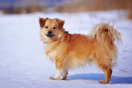 Small mongrel. Red doggie. Shaggy not purebred dog. Doggie on walk. Mongrel on snow. photo