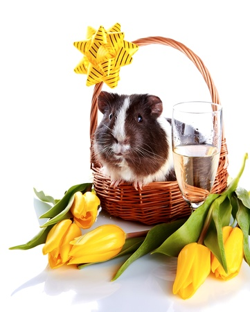 Guinea pig in a basket with tulips and a champagne glass photo
