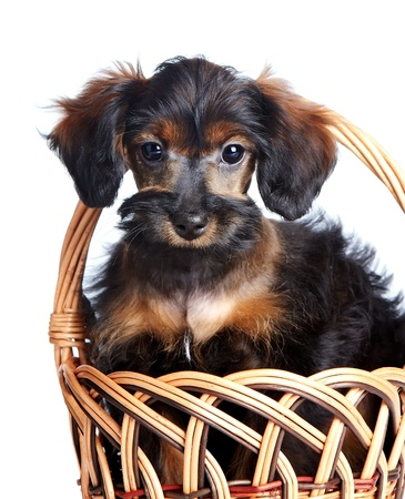 Portrait of a puppy in a basket. Puppy of decorative breed. Small doggie in a basket. Puppy of the Petersburg orchid. Dog in a basket. Stock Photo - 19549484