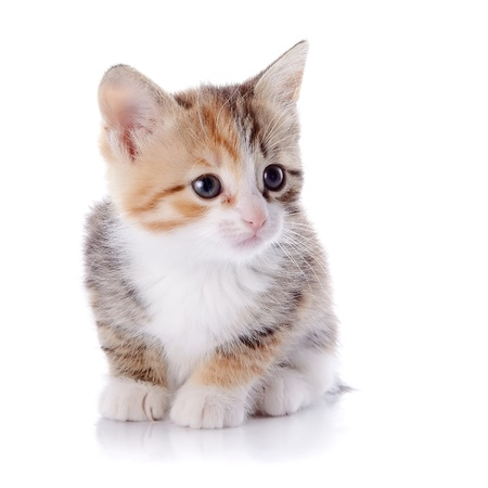 Multi-colored small kitten. Kitten on a white background. Small predator. Stock Photo - 19549494