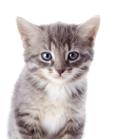 ojos azules: Gatito rayado gris. Gatito rayado con los ojos azules. Gatito en un fondo blanco. Peque?o depredador. Foto de archivo