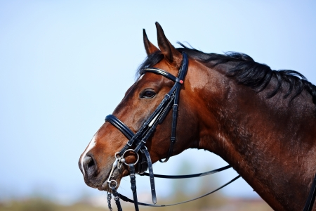 Brązowy ogier Portret brązowy koń sportowy jazda na koń rasowy koń Piękny koń photo