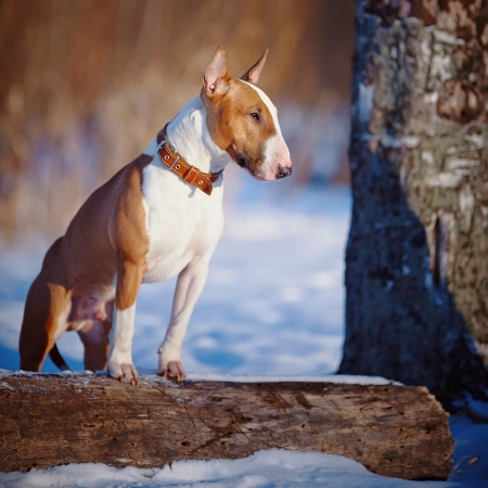 English bull terrier. Thoroughbred dog. Canine friend. Red dog. Bull terrier on winter walk. Dog in park. Dog on walk.