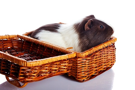 Guinea pig in a wattled basket. House rodent. Small pet. photo