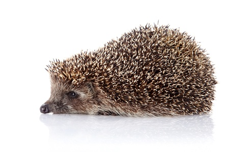 omnivore: Prickly hedgehog. Ordinary hedgehog. Omnivore. Prickly animal. Stock Photo