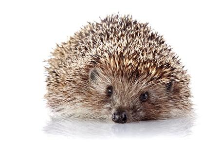 omnivore animal: Prickly hedgehog. Ordinary hedgehog. Omnivore. Prickly animal. Stock Photo