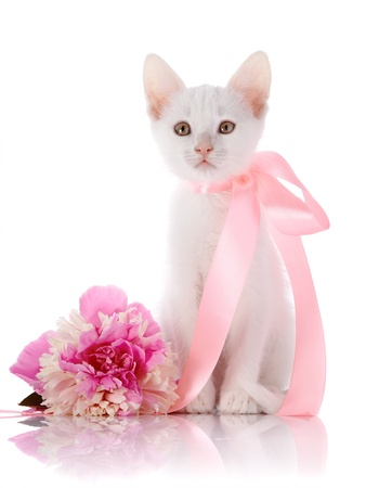 White kitten with a pink tape. White kitten and pink flower. Kitten on a white background. Small predator. Small cat. photo