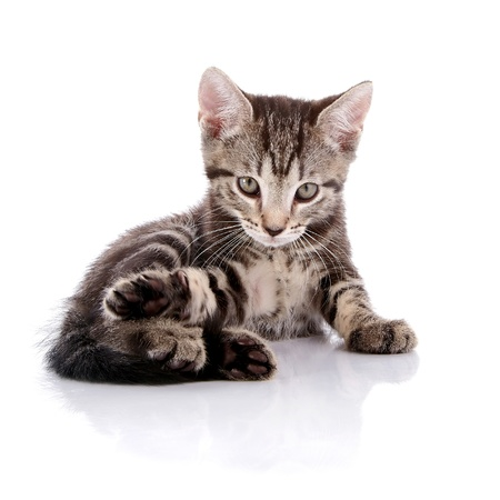 Striped not purebred kitten. Kitten on a white background. Small predator. Small cat. Stock Photo