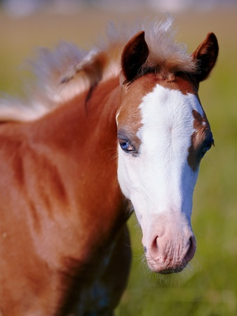 racehorses: Foal on a meadow  The horse is grazed  Horse on a pasture   Stock Photo