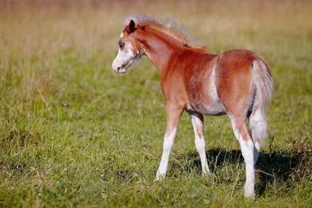racehorses: Foal on a meadow  The horse is grazed  Horse on a pasture  The horse eats a grass
