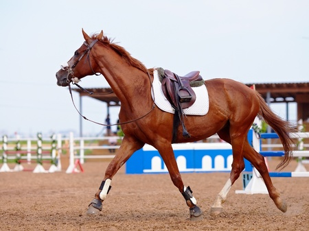 Red sports horse. Red sports horse in the field for competitions. Red stallion. Riding on a horse. Thoroughbred horse. Beautiful horse. Standard-Bild