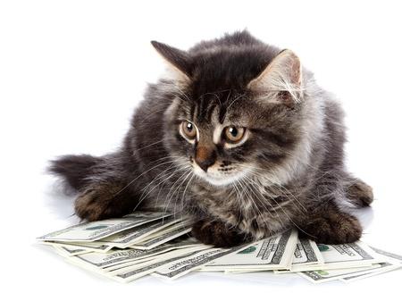 ojos marrones: Gato mullido con los ojos marrones. Striped no purebred gatito. Gatito en un fondo blanco. Pequeño depredador. Pequeño gato.