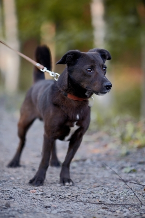 Small black doggie  Not purebred dog  Doggie on walk  The not purebred mongrel  photo