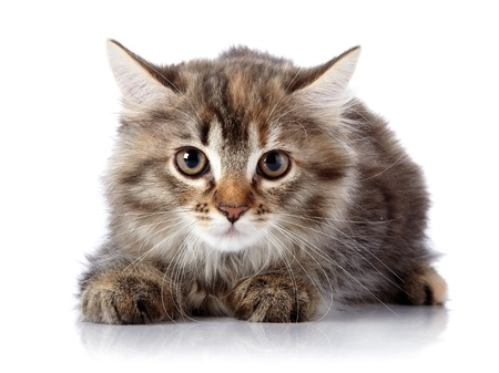 Fluffy cat with brown eyes.  Striped not purebred kitten. Kitten on a white background. Small predator. Small cat.
