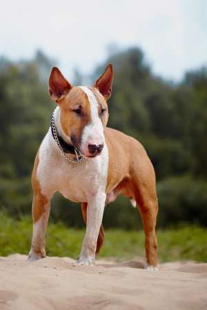 English bull terrier. Thoroughbred dog. Canine friend. Red dog.