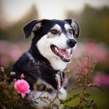 doggie: Portrait of a dog in roses. Not purebred dog. Doggie on walk. The large not purebred mongrel.