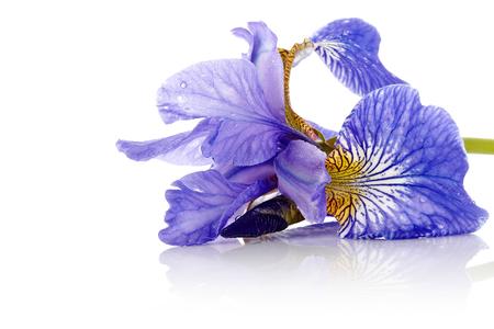 iris flower: Iris flower  Blue iris  Petals of a  flower of an iris  Flower in dew drops  Flower petals in dew drops  Stock Photo