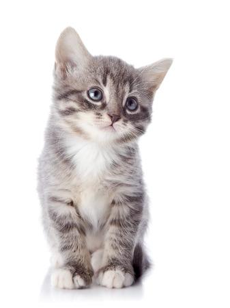 Gray striped kitten. Striped kitten with blue eyes. Kitten on a white background. Small predator. photo