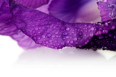 Violet flower. Iris flower. Violet iris. Petals of a violet flower of an iris. Flower in dew drops. Flower petals in dew drops. photo
