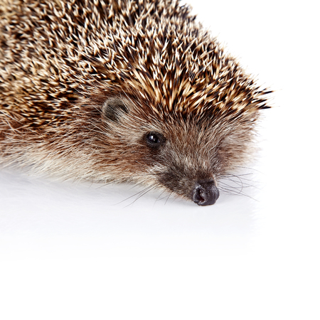 omnivore: Prickly hedgehog  Ordinary hedgehog  Omnivore  Prickly animal