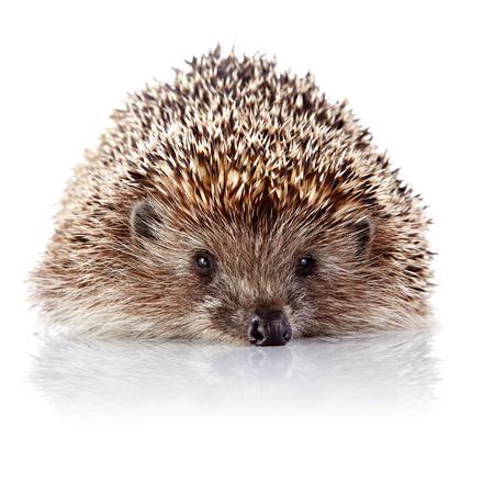 omnivore animal: Prickly hedgehog  Ordinary hedgehog  Omnivore  Prickly animal