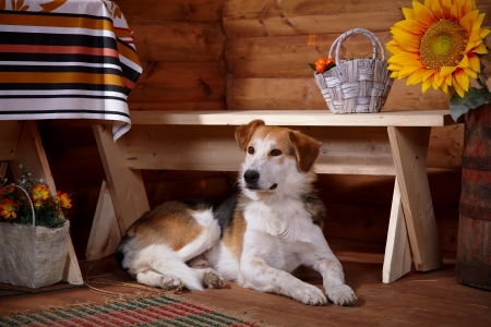 The dog lies under a bench in the rural house. Not purebred house dog. photo