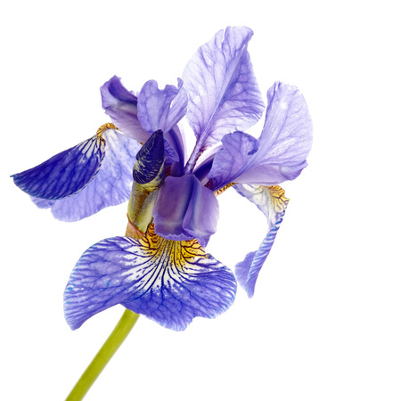 iris flower: Iris flower. Blue iris. Petals of a  flower of an iris. Flower in dew drops. Flower petals in dew drops.