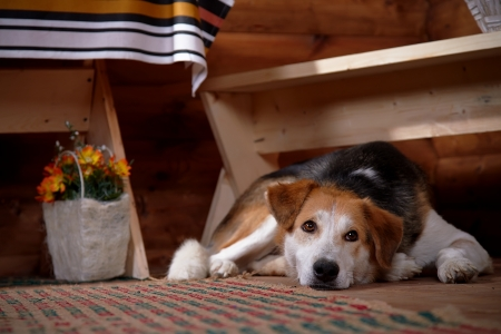 The sad dog lies under a bench in the rural house. Not purebred house dog. photo