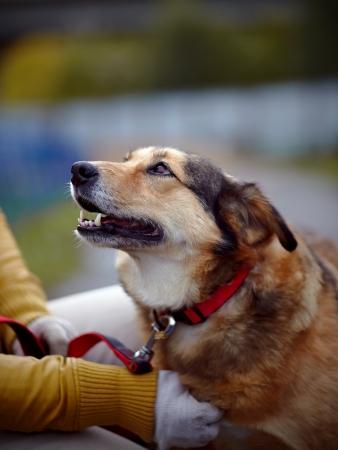 Ritratto di un cane rosso non di razza. Cane non di razza. Cagnolino a passeggio. Il grande bastardo non di razza. Archivio Fotografico - 24387835