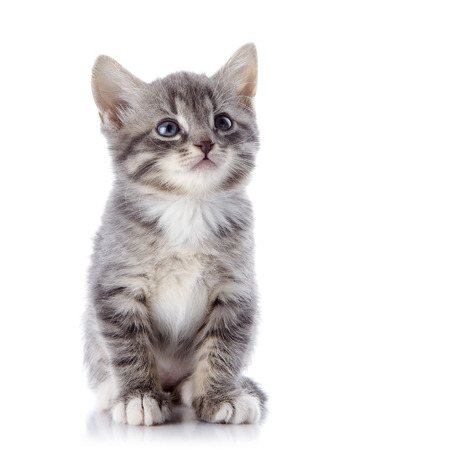 Gray striped kitten. Striped kitten with blue eyes. Kitten on a white . Small predator.