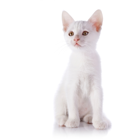 White kitten. Kitten isolated on  white