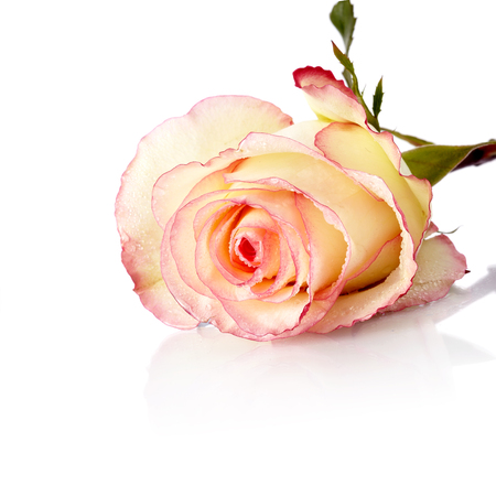 Beautiful rose. Pink rose. Rose isolated on  white  Stock Photo