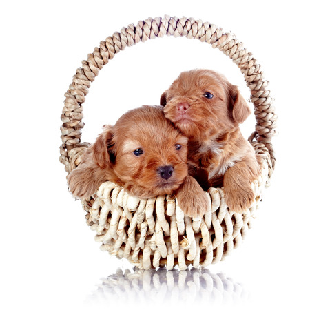 Two puppies in a wattled basket. Puppy of a decorative doggie. Decorative dog. Puppy of the Petersburg orchid on a white background