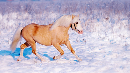 Portrait of a beige pony in the field in the winter. Beige little horse. Stallion on walk. Stock Photo