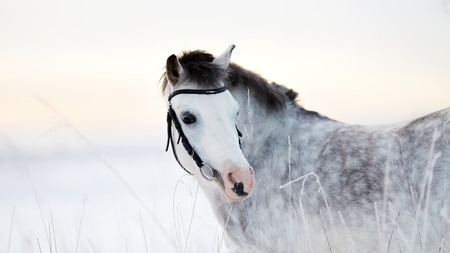 Portrait of a gray pony in the field in the winter. photo
