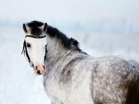 Portrait of a gray pony in the field in the winter. The mare walks in the winter. Gray little horse. Stallion on walk. photo