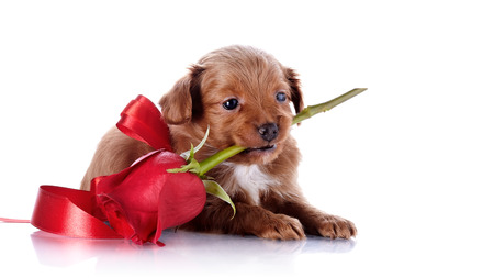 Puppy with a red bow and a rose.  photo