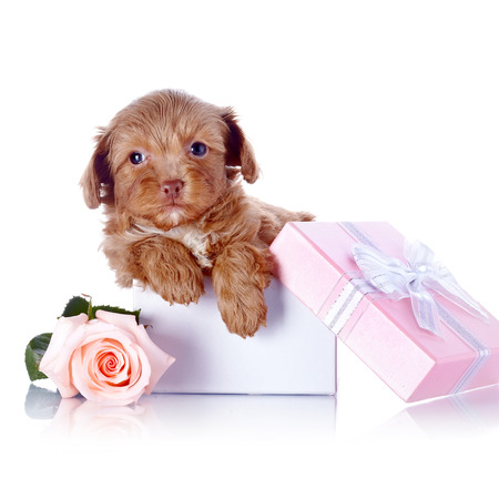 Puppy in a gift box and a rose. photo