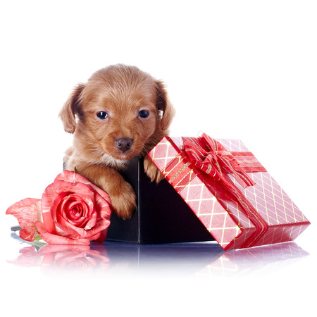 Puppy in a gift box with a bow and a rose.  photo