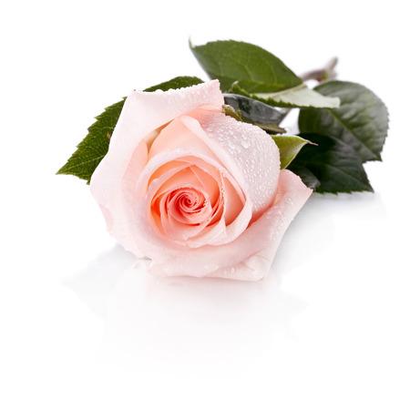 Beautiful pink rose. Pink rose.  photo