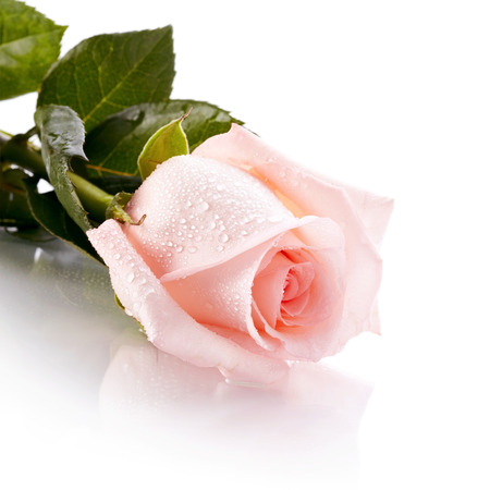 Beautiful pink rose. Pink rose. Rose on a white background. Pink flower.