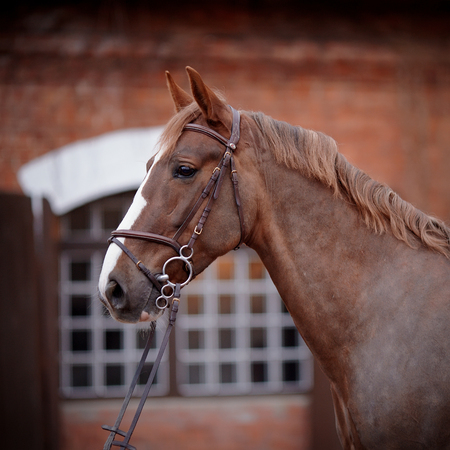 halter: Red stallion. Portrait of a red horse. Thoroughbred horse. Beautiful horse. Sports horse.