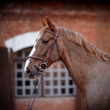Stallone rosso. Ritratto di un cavallo rosso. Cavallo purosangue. Bellissimo cavallo. Cavallo sportivo. Archivio Fotografico - 27908470