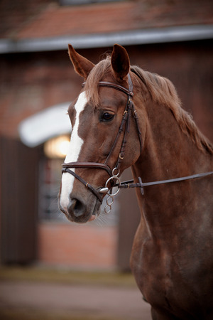 Red stallion. Portrait of a red horse. Thoroughbred horse. Beautiful horse. Sports horse.