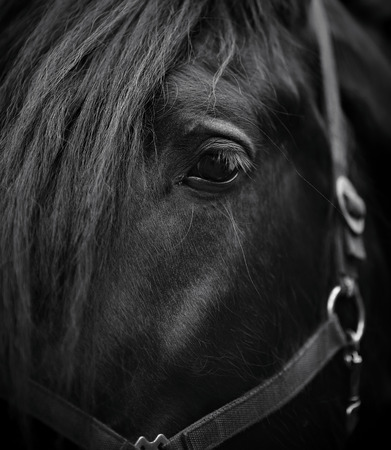 Eye of a horse. Muzzle of a horse. Stallion. Portrait of a horse. Thoroughbred horse. Beautiful horse. Stock Photo